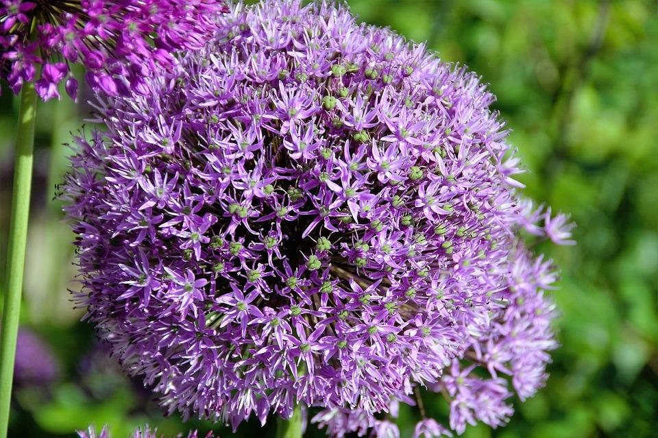 kostenloses foto knoblauch kugel violett pflanze. Black Bedroom Furniture Sets. Home Design Ideas