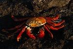 crab, ocean
