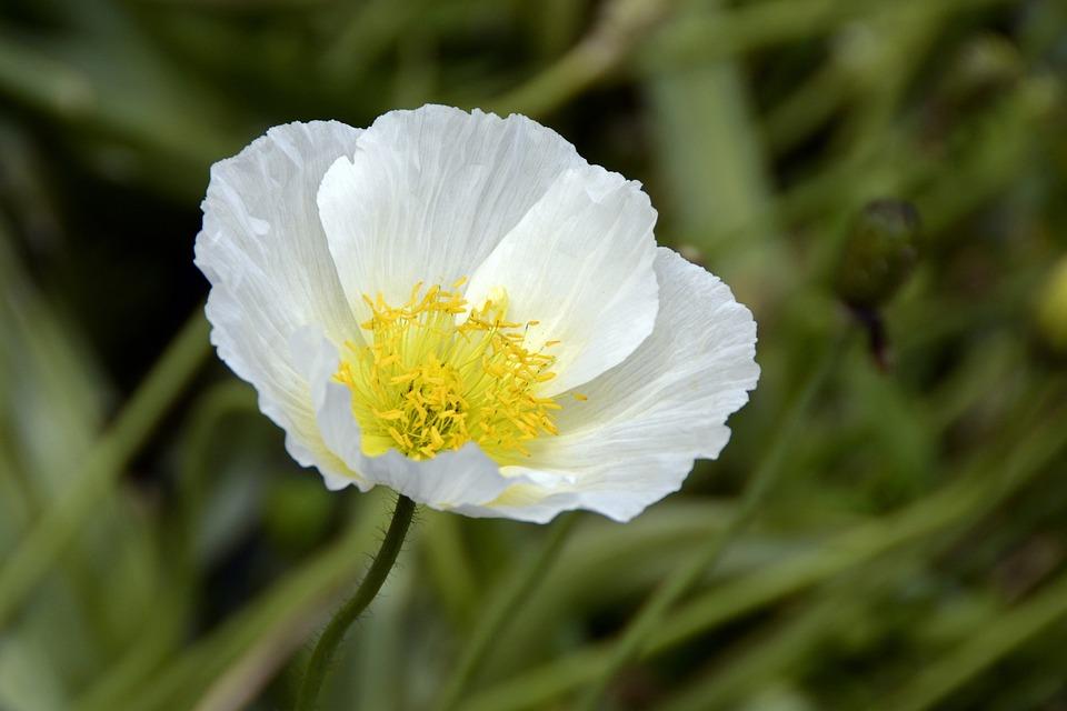 Klatschmohn Flowers Poppy Free Photo On Pixabay