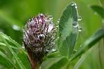 klee, trifolium, red clover