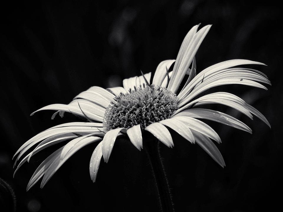 Fleur noir et blanc gallery of fleur noir et blanc with Fleur noir et blanc