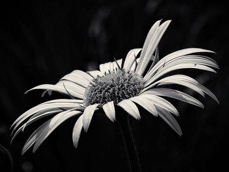 美しさ, 黄色の花, 白黒, 花, 庭, 白黒写真