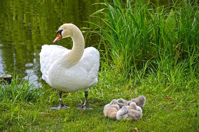 Swan u003cbu003eFamilyu003c/bu003e Chicks - Free photo on Pixabay