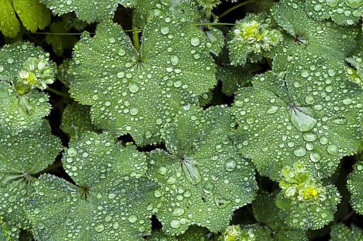 Staudenpflanze, Frauenmantel, Regen