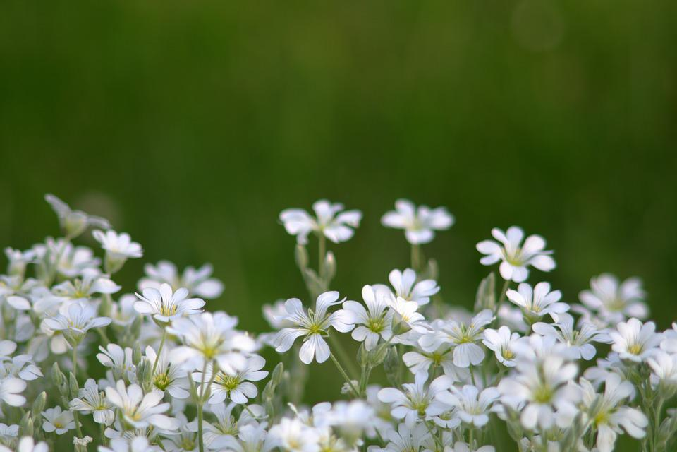 Flowers little white free photo on pixabay flowers little flowers white cream delicate a lot mightylinksfo