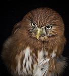 pygmy, owl, bird