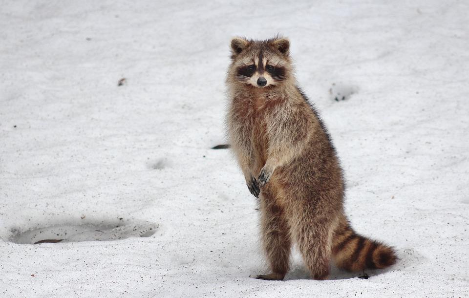 Racoon Animal Snow 183 Free Photo On Pixabay