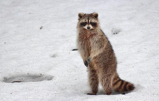 Racoon, Animal, Snow, Raccoon, Mammal