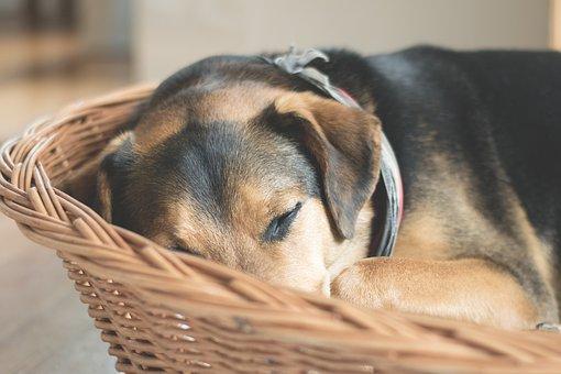 犬, 睡眠, 動物, 残り, 疲れた, 懸念, ペット, ハイブリッド