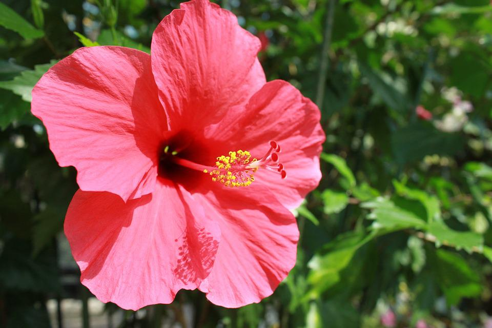 Free Photo Flowers Summer Flowers Hibiscus Free Image