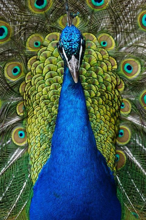Blue Peacock Bird  www.imgarcade.com - Online Image Arcade!