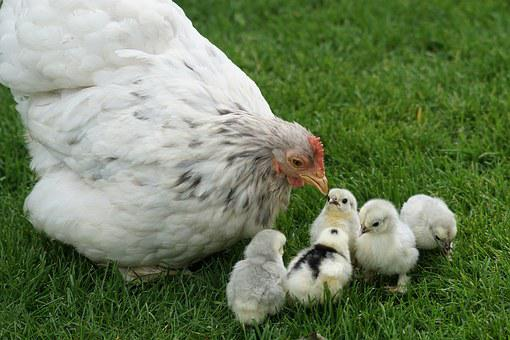 Cochin, Zwergcochin, Chicks, Chicken