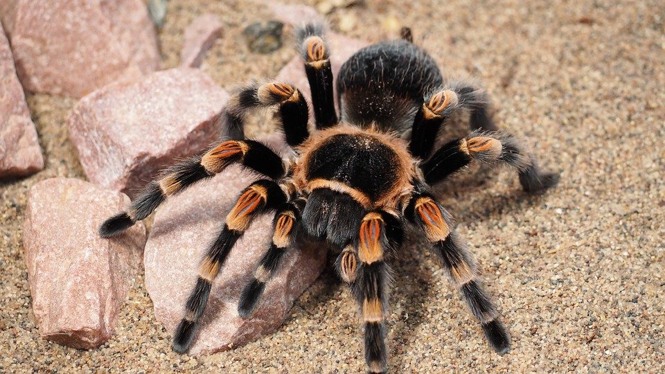 Tarantula Free Images On Pixabay