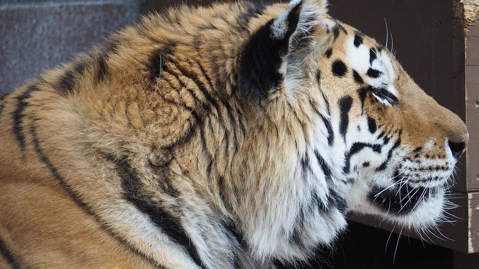 Tiger Face Portrait - Free photo on Pixabay