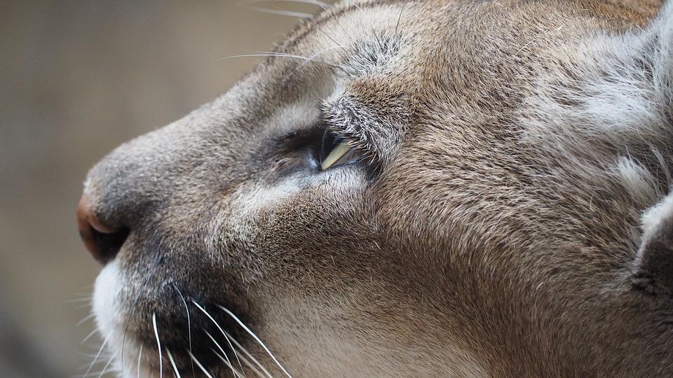 Mountain Lion, Cat, Mountain, Lion, Feline, Puma
