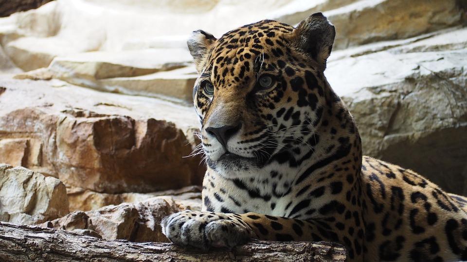 Endangered Wildlife Jaguar  Gov