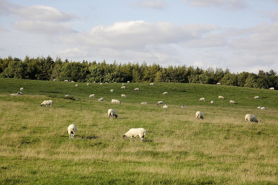 Free Photo Sheep Grazing Field Grass