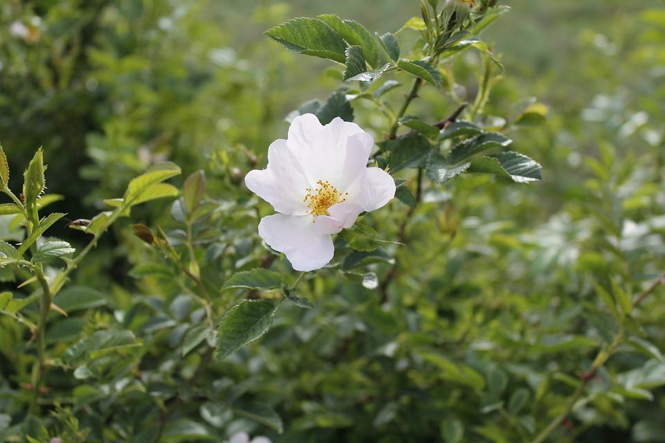 Flower doga white tea free photo on pixabay flower doga white tea rose nature green background mightylinksfo