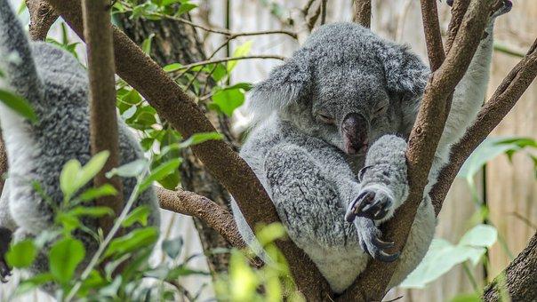 Koala, Zoológico, Lindo, Oso Koala