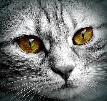 Cat, Face, Tiger, Close, Eyes, Face Cat