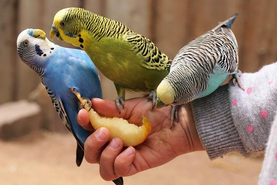 Parkieten, Vogel, Dierlijke, Bill, Voedsel