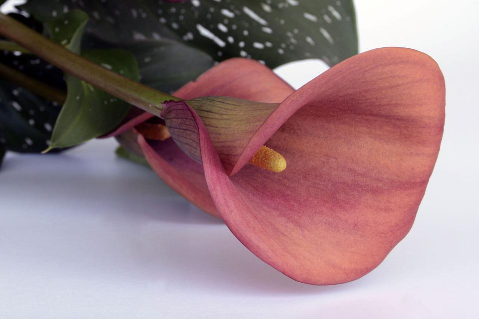 Calla, Flower, Blossom, Bloom, Red, Mourning