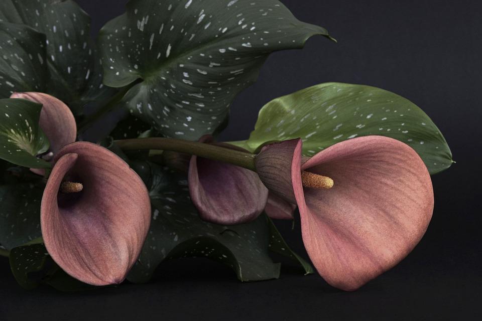 foto gratis calla fiore fiori rosso lutto immagine. Black Bedroom Furniture Sets. Home Design Ideas