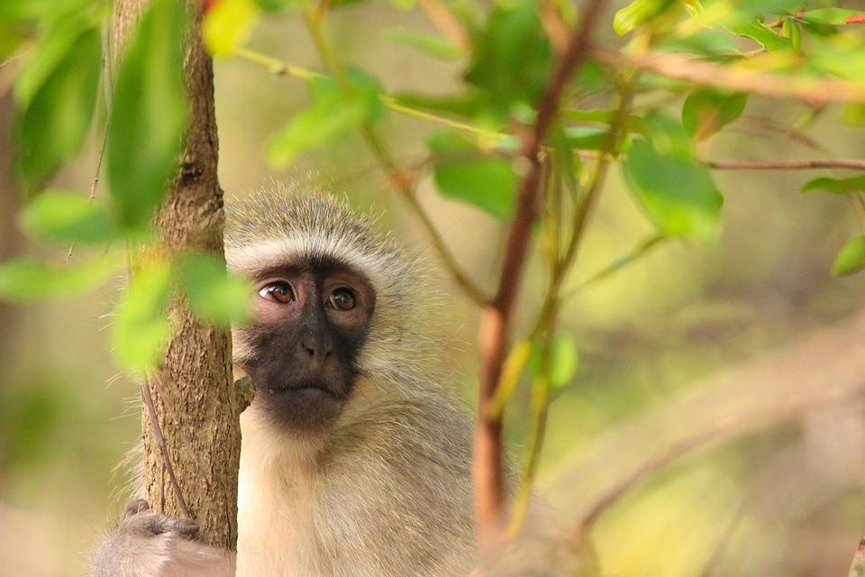 Küçük Maymun Tatlı Pixabayde ücretsiz Fotoğraf