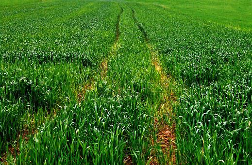 Field, Track, Way, Corn, Spring, Green