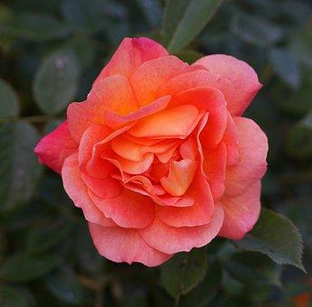 Rosa, Flor, Jardim, Roseira, Vermelho