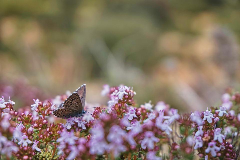 Papillon, Nature, Thym, Flore, Faune, Fleuri