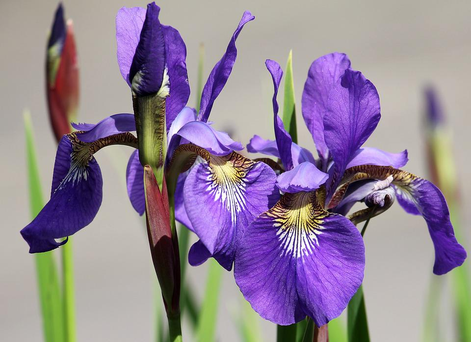 free photo iris, flower, garden, purple, flora  free image on, Natural flower