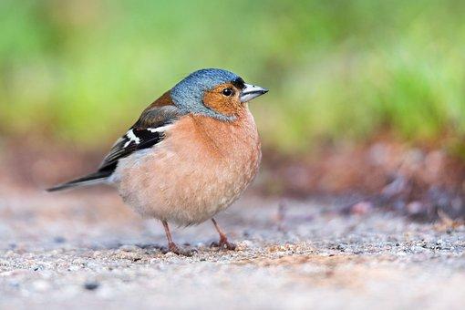 Chaffinch, Finch, Bird, Nature