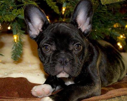 French Bulldog, Puppy, Christmas, French