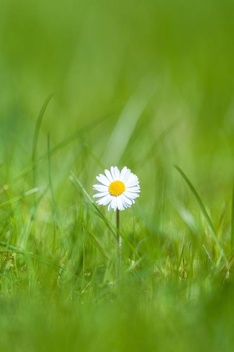 free photo daisy, flower, grass, outdoor  free image on pixabay, Beautiful flower