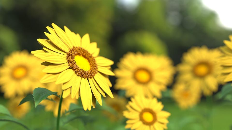 ひまわり, 花, 植物, 黄色の花, 花びら, ブルーム, フィールド, ひまわり畑, 夏, 自然