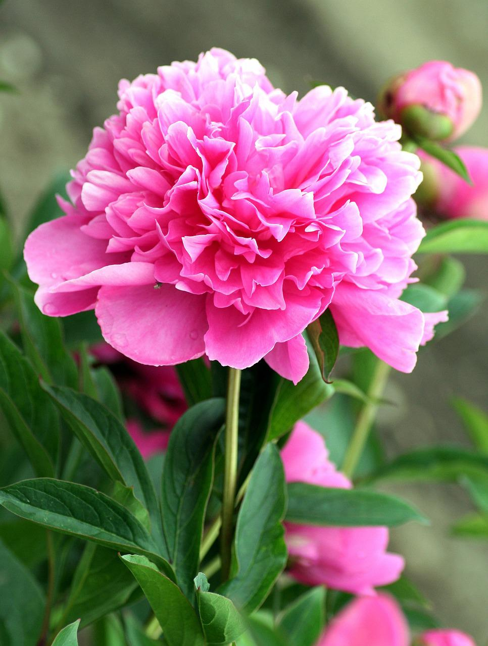 как выглядят цветы пионы фото представляет собой загородную