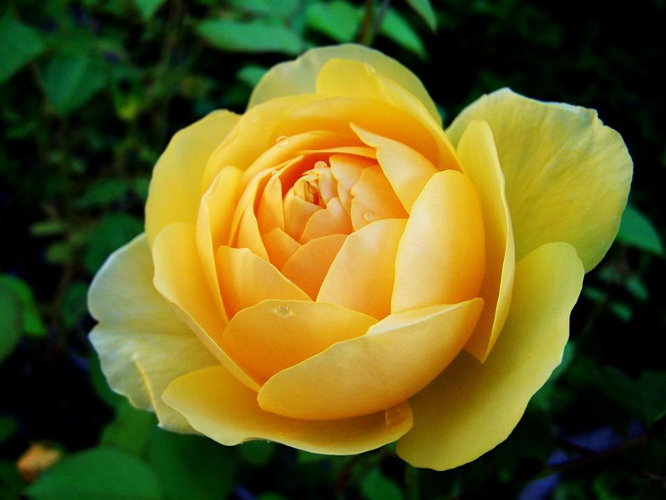 Geliebte Rose Gelbe Rosen Sommer - Kostenloses Foto auf Pixabay @UA_48