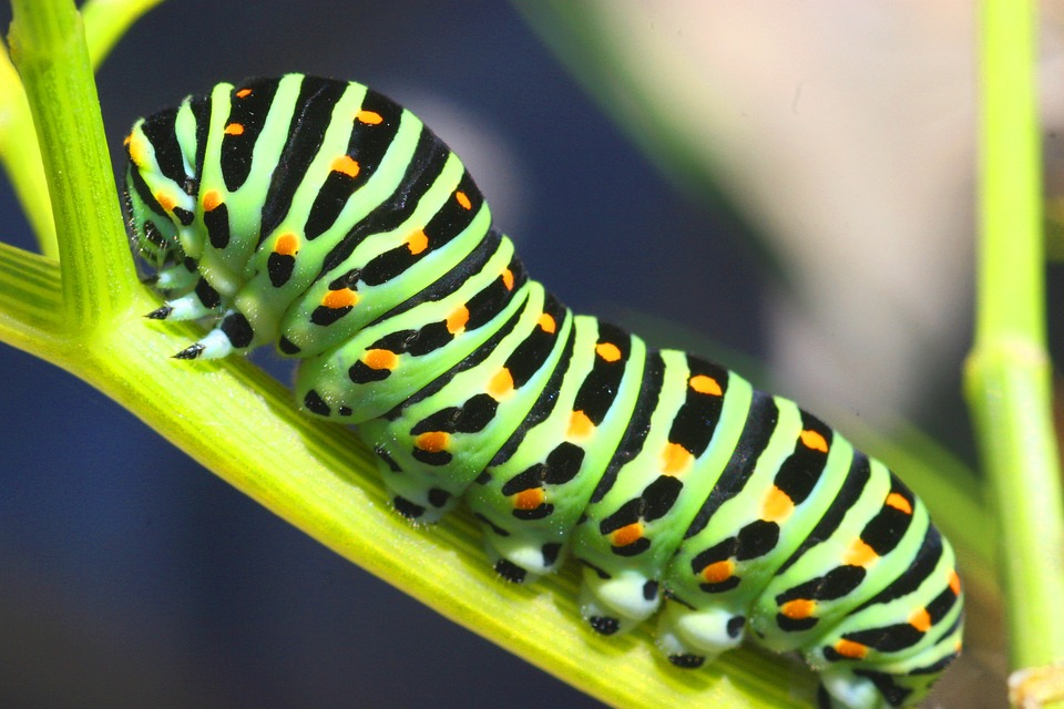 Chenille Caterpillar Papillon caterpillar sphinx · free photo on pixabay