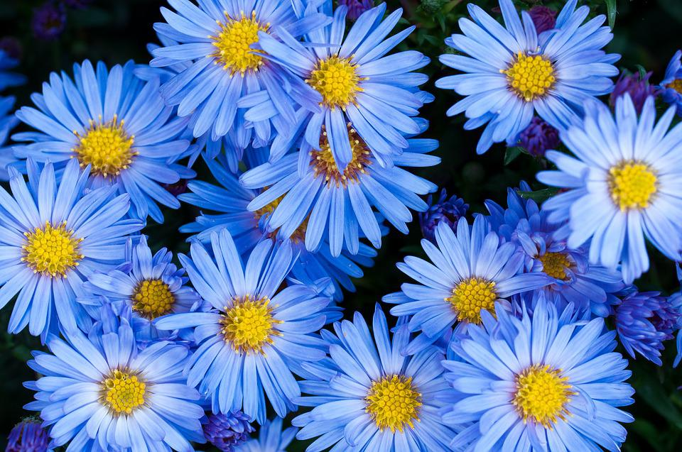free photo flowers, asters, blue, blue flower  free image on, Natural flower
