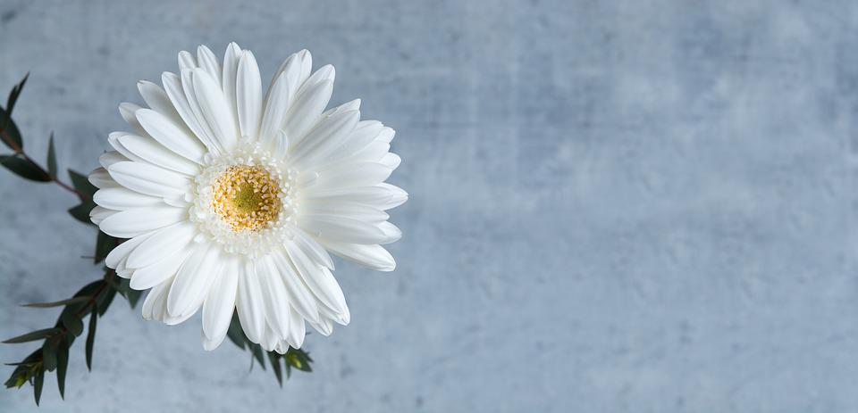 Gerbera white flower free photo on pixabay gerbera white gerbera flower white blossom bloom mightylinksfo