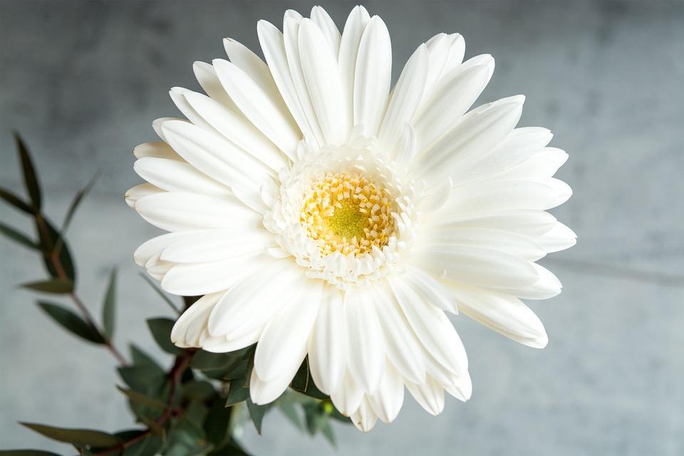 Gerbera white free photo on pixabay gerbera white white gerbera flower white flower mightylinksfo Choice Image