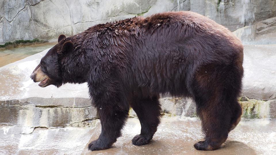 Black Bear, Bear, Black, Animal, Fur, Zoo, Danger
