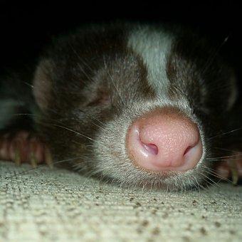 Skunk Sleepy Exotic Animal Pet Mammal Natu