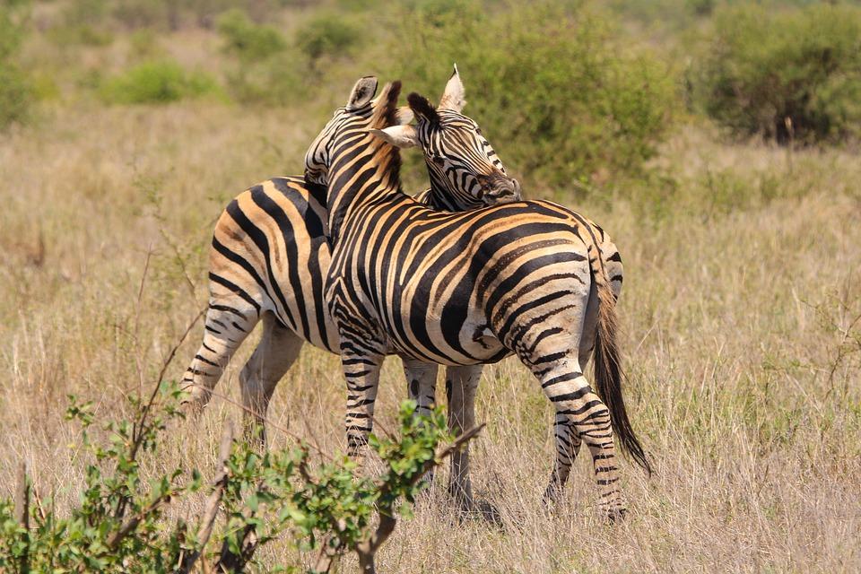 Image of: Animal Kingdom Zebra Love Wild Animals Nature Animal World Pixabay Zebra Love Wild Animals Free Photo On Pixabay