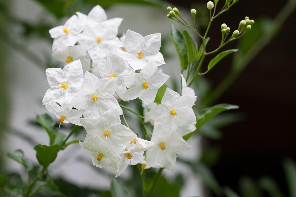 free photo flower, white, white flower, garden  free image on, Natural flower