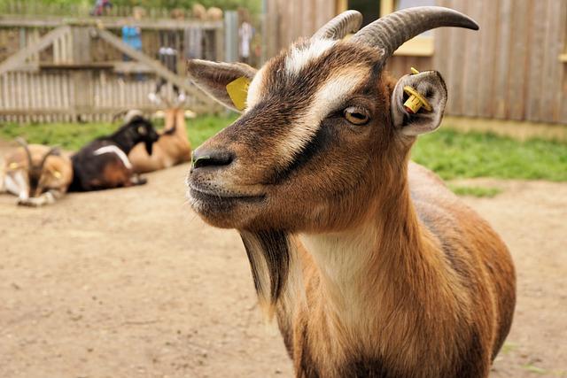 free photo  goat  dwarf goat  pet  zoo  animal - free image on pixabay