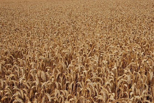 Agriculture, Grain, Corn, Brown, Dry