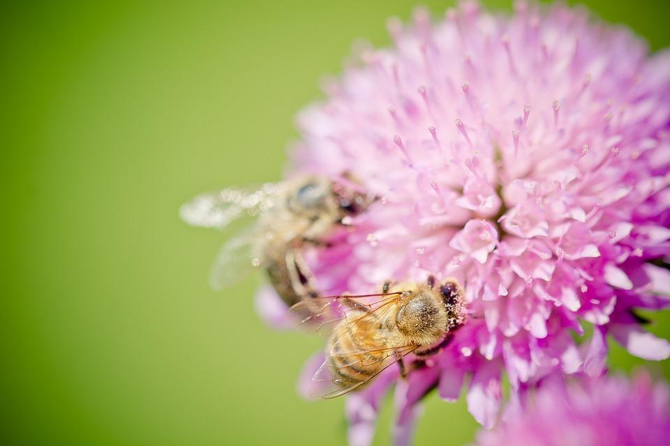 photo gratuite abeilles fleur pollen image gratuite sur pixabay 1423158. Black Bedroom Furniture Sets. Home Design Ideas
