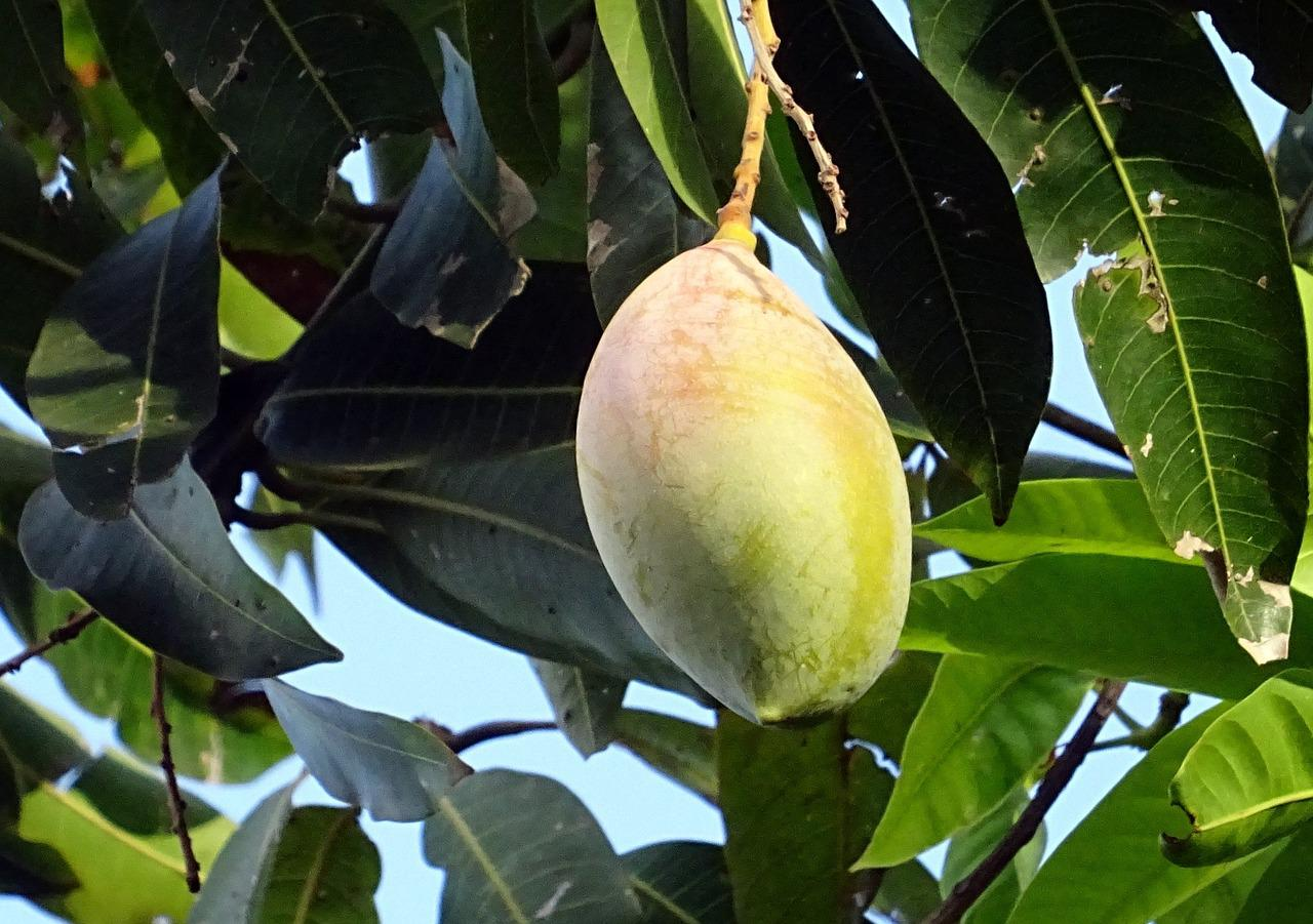 """""""production of mango mangifera indica in Other parts of the mango plant (mangifera indica unless otherwise specified) contain: mangiferin in the peels (494-1523mg/g), kernels (640-898mg/g), bark (1233-1833mg/g), and leaves (369-6720mg/g favoring young leaves), thought to be the major bioactive compound."""